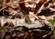 Tan-colored butterfly rests on top of a dry leaf.