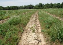 A large field with tree seedlings growing in the middle of a long row void of other plants. Adjacent rows are full of grasses and weeds.