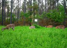 Four deer graze in tall, lush clover with thinned pines in the background.