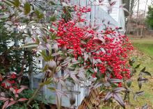 A row of red and green nankin bushes stretches along a wooden fence.