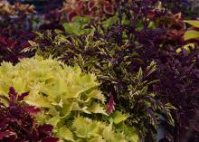 A landscape bed is full of various shades of red and yellow coleus plants.
