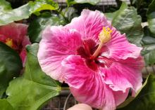 A large pink hibiscus bloom is pictured above green leaves.