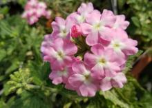 A cluster of small pink verbena flowers with white centers is seen above a bed of green.