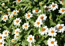 White zinnias with yellow centers bloom above green leaves.