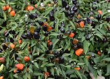 Several black peppers and orange peppers protrude from the green leaves of a plant