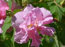 A single pink bloom with ruffled edges rises from a background of green foliage and closed buds.