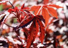 A reddish-brown leaf with serrated edges is seen in focus against a background of similarly colored leaves.