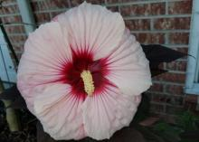A large, light pink flower with a dark center fills the frame from its placement in front of a brick wall.