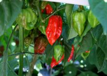 Small, wrinkled-looking red and green hot peppers hang from a plant in this close-up image.