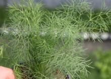 The thin, wispy branches of a small dill plant fill the frame.