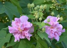 Two pink blooms shine in a sea of green leaves with several tiny, green buds nearby.
