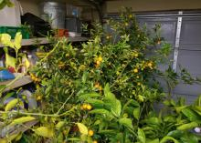 Small trees full of orange fruit are grouped inside a garage.