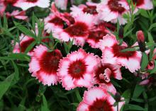 A cluster of ruffled pink flowers with vivid red centers is pictured on green stems.
