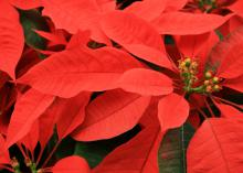 The traditional colors a poinsettia displays are the bracts, while the tiny, yellow structures in the center are the actual flowers.