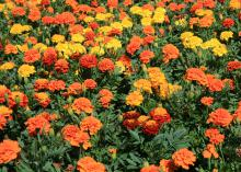 Dozens of orange, yellow and red marigold flowers rise above a sea of green leaves.