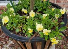 Two-tone, yellow flowers bloom on green foliage at the base of a small tree planted in a container.
