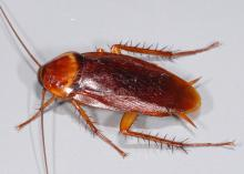 Image is of a shiny, medium-brown cockroach with six legs and long antennae.