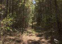 Pine trees surround a small clearing in a Mississippi forest.
