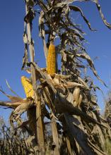 Husks have been pulled back to reveal two dried ears of corn on a corn stalk in a field of corn ready for harvest.