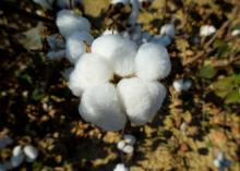 A pure white cotton boll opens on a brown stem.