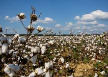 White bolls of cotton adorn the branches of dried cotton plants stretching nearly to the horizon.