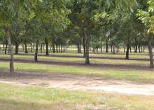 A pecan tree orchard with an irrigation system.