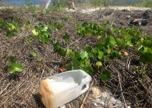 A discarded half-gallon milk jug lays in a natural area along a beach.
