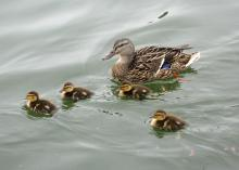 Four baby ducks swim beside their mother in a pond.