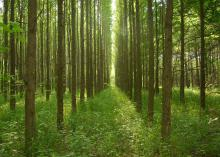 Medium-sized trees grow in straight rows as the sun highlights the green treetops and ground covering.