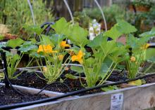 Small, green plants with large leaves and yellow blooms rise above soil in a wooden container, with black hoses winding around the plants.