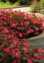 Dozens of rose-colored flower clusters cover the branches of a plant growing in a curved area of a walkway.