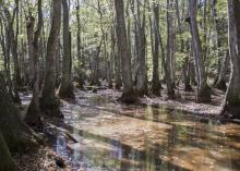 A wetlands area is full of gray trunks of trees with filtered light shining through green leaves.