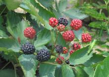 Three dark blackberries are part of a larger cluster of red blackberries against a leafy green background.