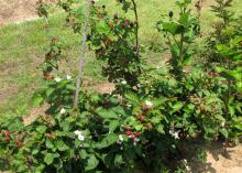 Green bushes grow in rows, holding red and black berries, along with a few white flowers, above their leaves.