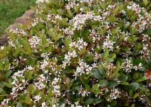 Scores of tiny, white flowers in clusters rise from among the green leaves of a mounding shrub.