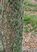 A fuzzy, light-green growth covers much of the side of a tree trunk.