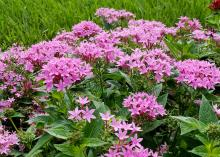 Scores of star-shaped, pink flowers bloom in clusters above green leaves.