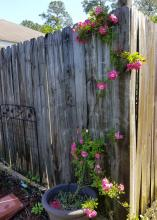 A single rose stem grows up a gray, wooden fence and has clusters of pink blooms on green leaves.