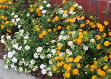 A mass of white blooms intermingle with a mass of bright yellow flowers growing from green bushes against a red brick wall.