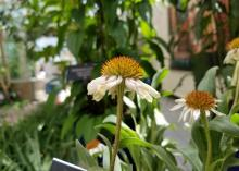 Two flowers with white petals and spiky, orange centers rise on tall stems above a blurred-out green background.
