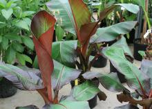 Potted banana plants with maroon-striped green leaves show red backs while unfurling.