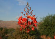 A dozen orange flowers hang on a long stem with several buds above close to blooming.