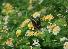 A black butterfly with yellow spots stands on small, yellow flowers in a sea of green leaves.