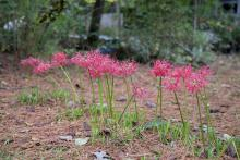 A small clump of red flowers bloom above slender stems in a lawn.