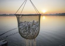 A basket of catfish hovers above a pond and against a sunset background.
