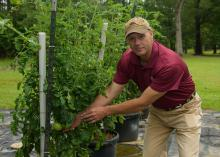 A man wearing a baseball cap reaches toward a green tomato growing on a large, caged plant.