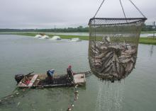 A mesh basket of fish is hoisted over a pond on which floats a boat with two men aboard.