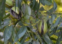 Closeup of pecans on the tree.
