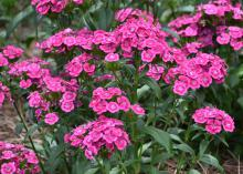 A cluster of pink flowers.