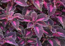 Dramatic, hot-pink centers are displayed on broad, burgundy leaves.